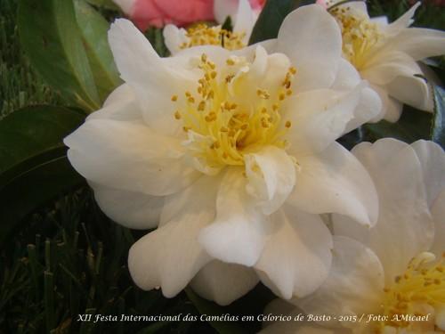 3.1 - Festa Internacional das Camélias em Celoric