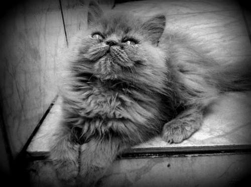 venda-de-filhote-de-gato-persa-tel-2457-7984-25645