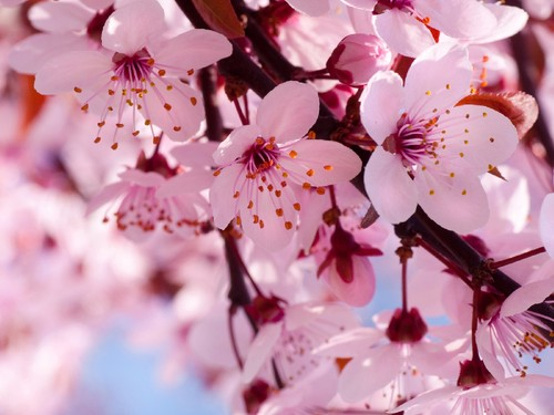 blooming-pink-cherry-blossom-pink-color-34590866-1