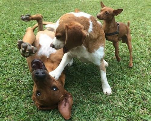 cães brincam.jpg
