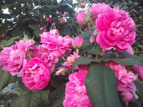 Rosas perfumadas. Foto original de D.A.P.L. 2016.jpg