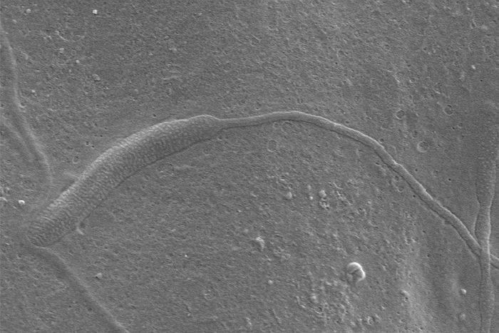esperma-fossil.jpg