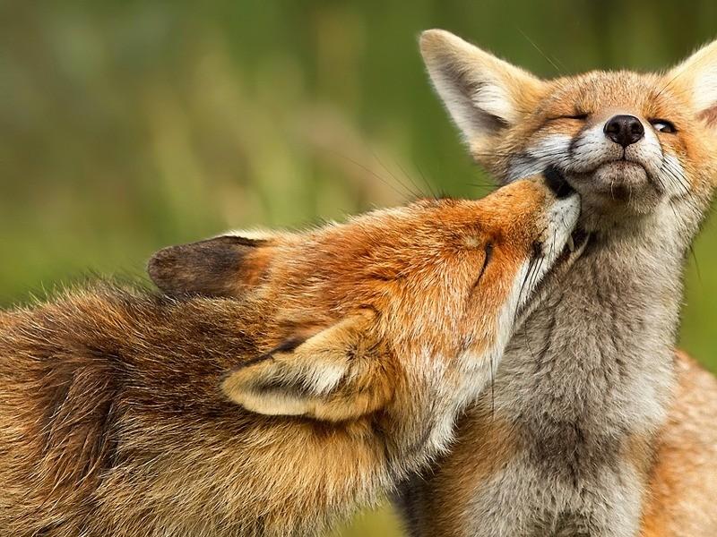 foxlove.jpg
