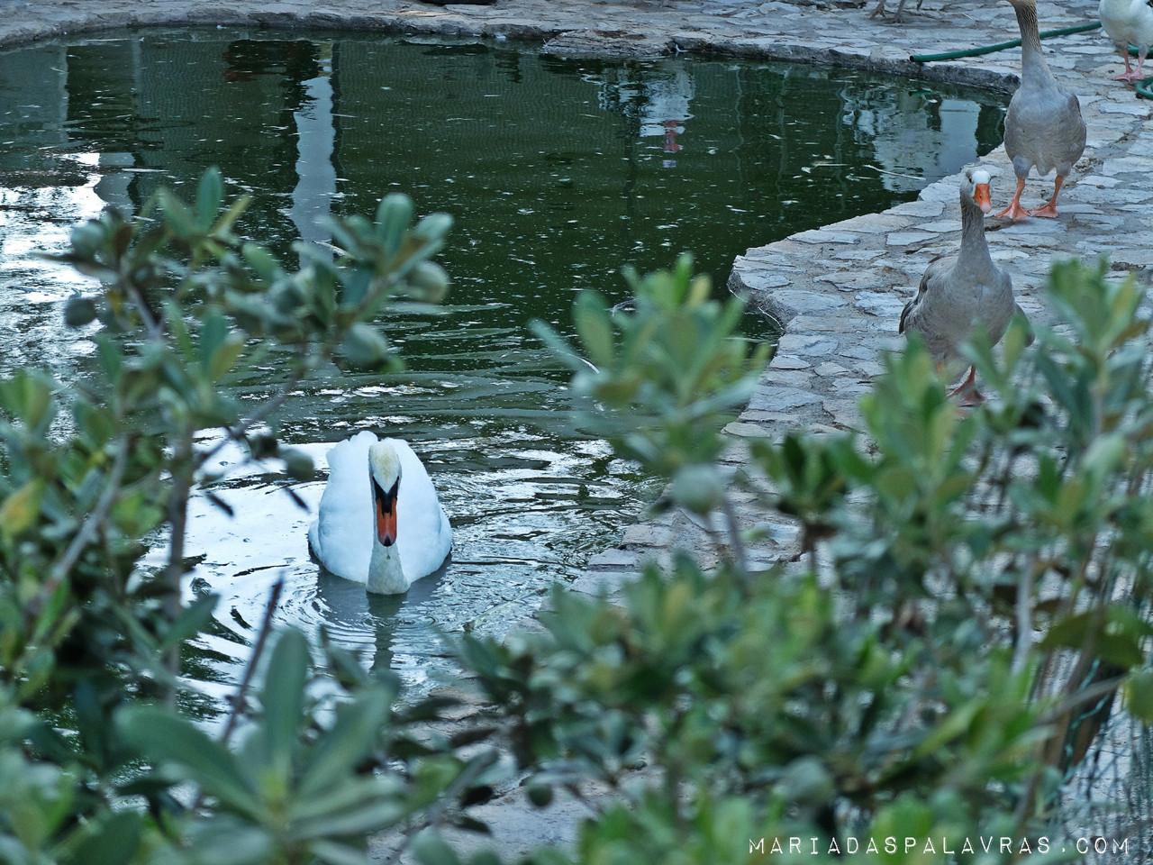 Patinhos feios e cisnes - fotografia Maria das Palavras
