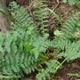 Filipendula_vulgarisFR.JPG