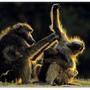 babuinos.png