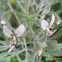 Pelargonium-tomentosum-flor.jpg