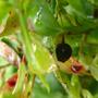 Vaccinium_padifolium-fruto.jpg