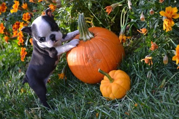 cute-boston-terrier-baby-first-halloween.jpg