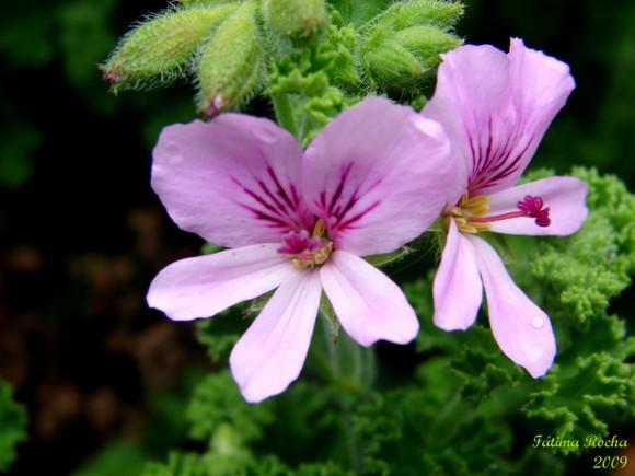 Pelargonium_crispum.jpg