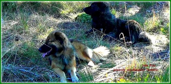 Cães Pastores da Serra