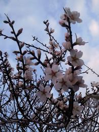 Foto1923. ramos floridos de amendoeira jpg