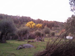 Foto1967.jpg acácia amarela / mimosa